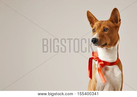 Thoughtful attentive dog wearing a red bow, close up shot isolated on white