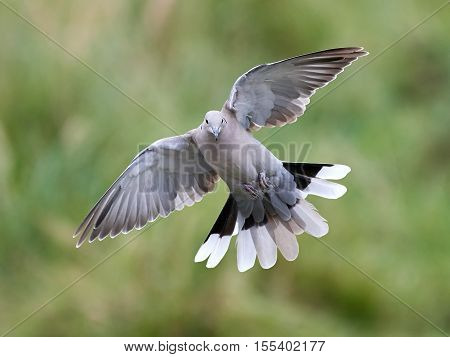 Eurasian collared dove in flight with vegetation in the background