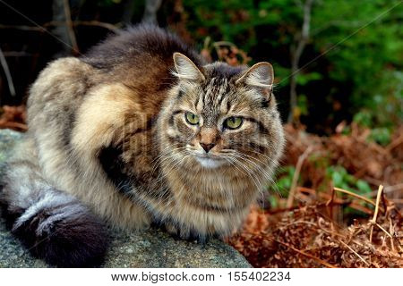 Long Haired Brown Tabby Cat Crouching on Large Rock Outside.