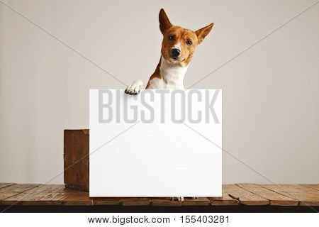 Adorable brown and white basenji dog holding a large blank white sign in a studio with white walls and beautiful rustic brown wooden floor