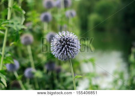 The Beautiful purple Globe Thistle also known as Echinops