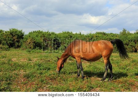 A New Forest pony grazing at Hatchet Pond
