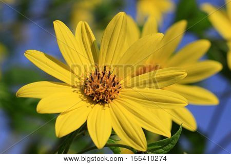 Helianthus x multiflorus 'Capenoch Star is a family of the Asteraceae, flower color is golden yellow and the flowering period is from about July to September