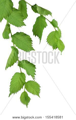 (Ulmus Laevis) Elm branches with leaves isolated on white background without shadows. Close-up. Nature in detail. Spring. Summer.