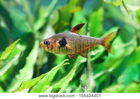 Aquarium fish Rosy Tetra. Green freshwater tank with plants. macro view
