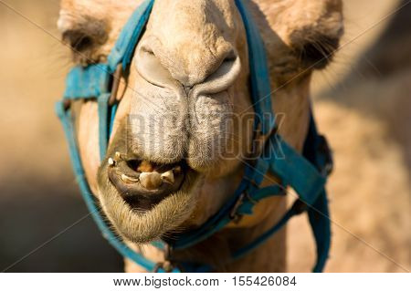 Camel face is a closeup of a camel animal making a funny face.