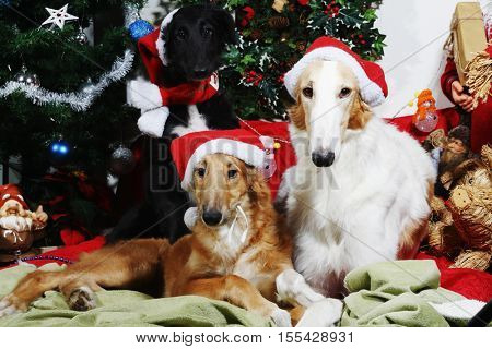 two Borzoi hounds dressed in father christmas clothing wishing greetings for christmas
