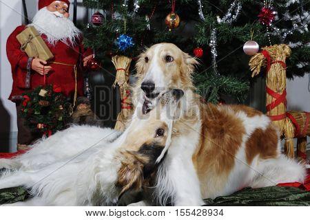 giant Borzoi hounds against a christmas tree