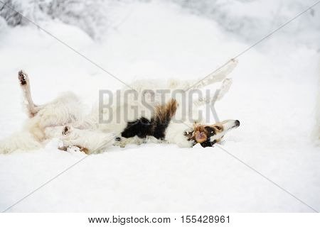 giant Borzoi hound playing in the snow