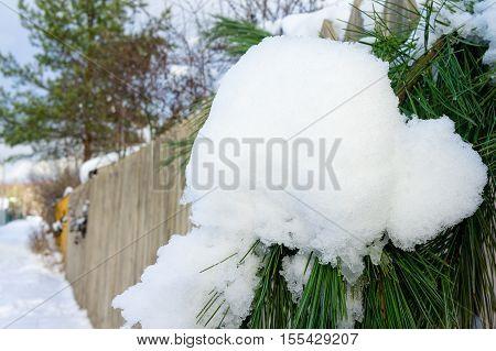 Cedar Branch In Snow