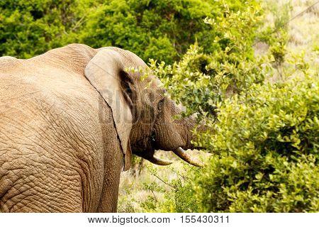 Bush Elephant Eating In The Bushes