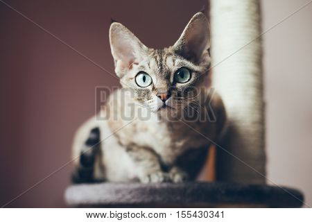 Portrait of a beautiful Devon Rex cat looking at the camera natural light shoot nice shadows. Cat uses scratching post. Cat breeds.