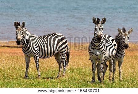 Herd of Zebra standing and looking directly ahead