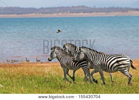 Zebras walking across the lush plains in Bumi National Park