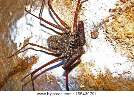 A whip scorpion clings to the wall of a cave, displaying a set of menacing mandibles.
