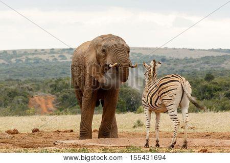 Bush Elephant Blowing Water To The Zebra