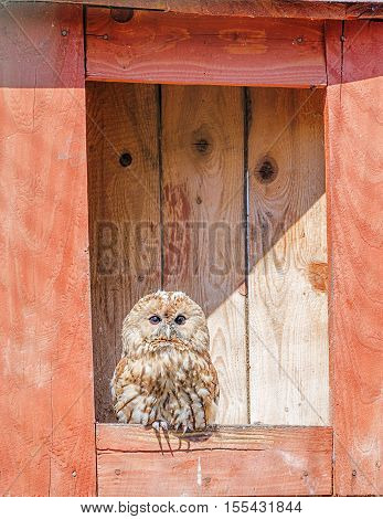 Owl sits in its red nesting box
