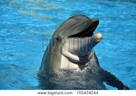 Bottlenose dolphin head Latin name Tursiops truncatus