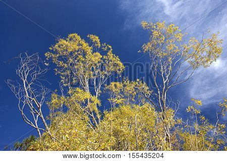 Yellow leaves on a tree in autumn set against a blue sky.