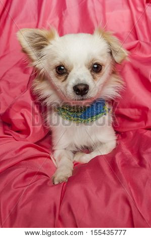 Portrait of cute little chihuahua and terrier mix.