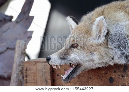 foreground of the head of a dissected fox