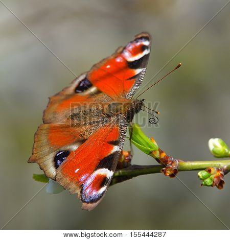European Common Peacock butterfly (Aglais io, Inachis io) on green background