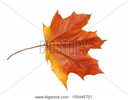 Red-orange dry maple leaf on a white background