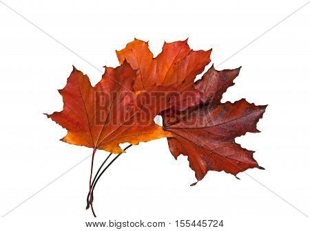 Three red dry maple leaves on a white background