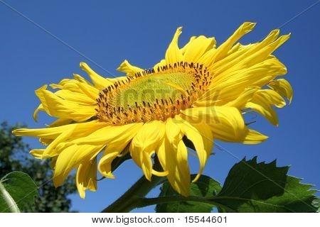 sunflower on a background of the sky