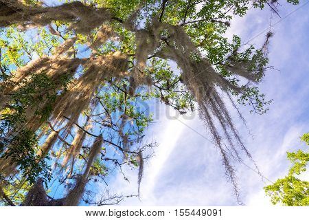 Spanish Moss On A Tree