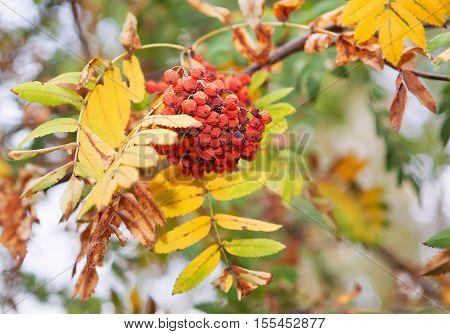 rowan red berries in the autumn season