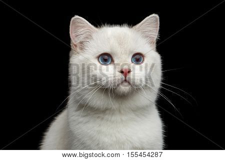 Close-up Furry British breed Cat White color with magic Blue eyes on Isolated Black Background