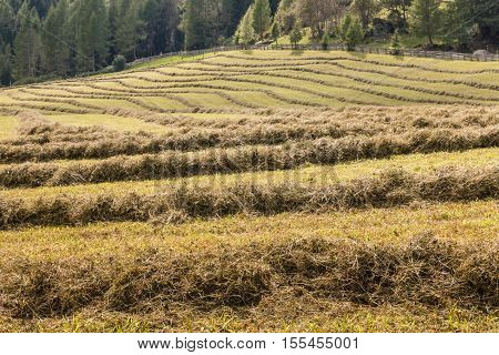 grass hay drying on alpine meadow in Dolomites