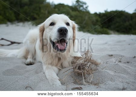 dog breed golden retriever playing in the sand Baltic sea beach