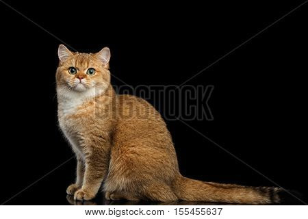 Furry British breed Cat Gold Chinchilla color Sitting and Looking in Camera, Isolated Black Background, Side view