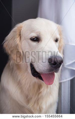 golden retriever sitting in interior, close-up, smile dog