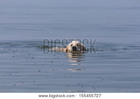 Golden Retriever swims in a sea of green water the Baltic Sea a sunny day