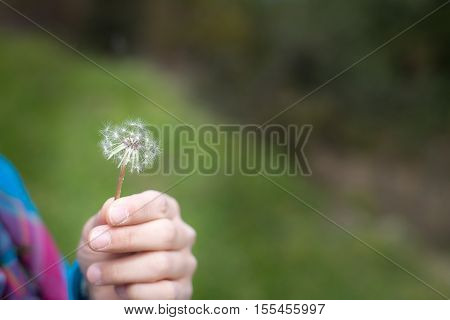 Hand Holding Dandelion in spring,  with copy space