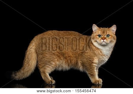 Furry British breed Cat Gold Chinchilla color Standing and Looking in Camera, Isolated Black Background, profile view