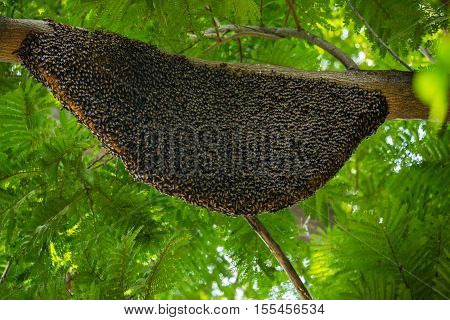large natural beehive hanging on a tree