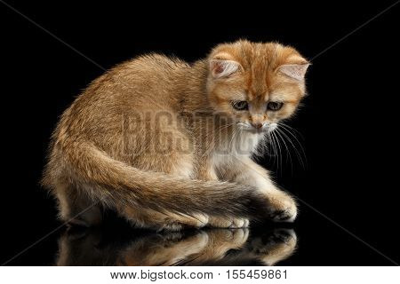 Playful British breed Kitty Gold Chinchilla color with tabby, Walking Isolated Black Background with reflection, Side view