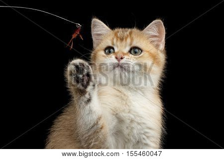 Close-up playful British breed Kitty Gold Chinchilla color with tabby, raising up paw, Isolated Black Background, Front view