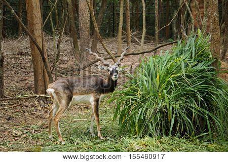 An Antilope cervicapra eating grass / blackbuck