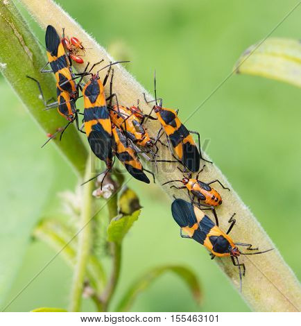 A group of Large Milkweed Bugs (Oncopeltus fasciatus)