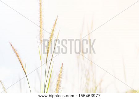 Feather grass flowers field on bright background