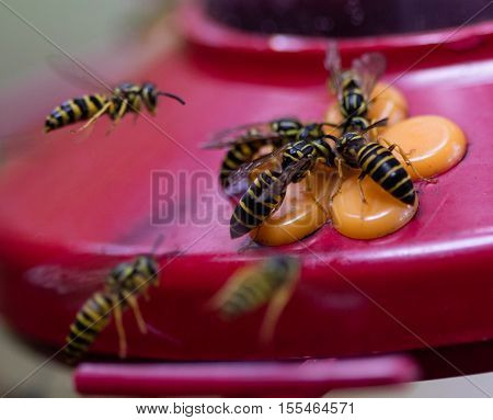 Group of Yellowjacket wasps on a hummingbird feeder
