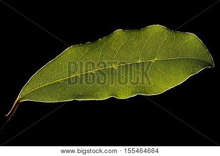 Green leaf against sunlight Macro shot black background
