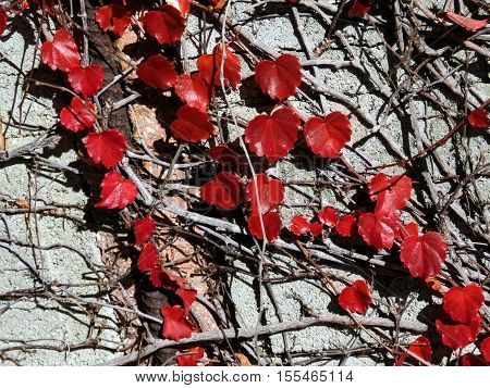 Red leaves in Thornhill Canada November 6 2016