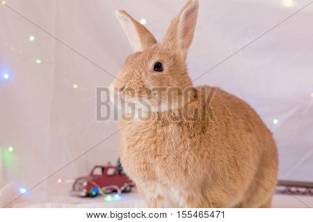 Adorable rabbit poses in soft light with small red truck