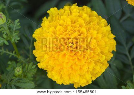 Marigold yellow illuminated beautiful beauty bloom closeup